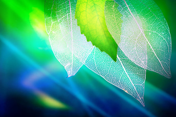 Obraz na Szkle Liście Transparent skeleton leaves and a fresh juicy young green leaf on green and blue background close-up macro. Bright expressive colorful beautiful artistic image of nature.