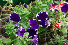 Background With Purple Petunia...