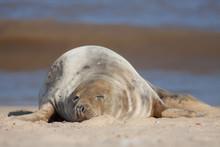Sleeping Seal. Cute Tired Animal Taking A Nap On The Beach.