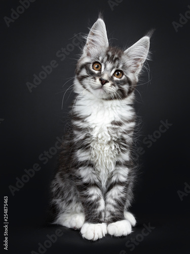 Cute silver black tabby Maine Coon cat kitten, sitting up facing