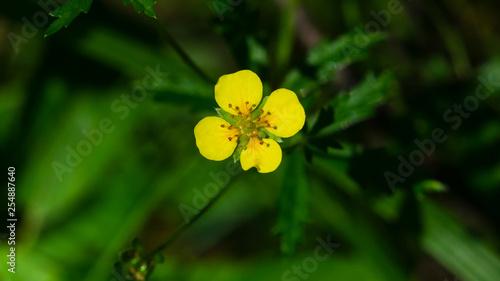 Fotografie, Obraz Tormentil or septfoil Potentilla erecta flower macro, selective focus, shallow D