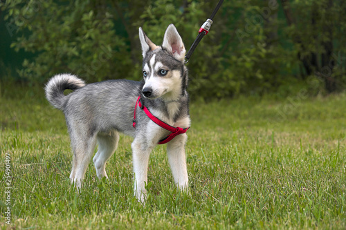 Alaskan Klee Kai  dog  on a background of green grass Canvas Print