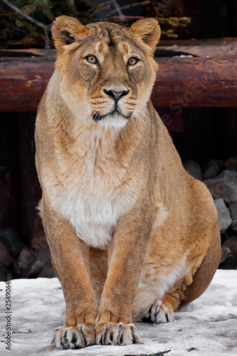 Fotografie, Obraz  A lioness is a large predatory cat sitting on the snow and looking straight ahead, a rare animal, the Asian  lion