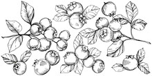 Vector Blueberry Black And White Engraved Ink Art. Berries And Leaves. Isolated Blueberry Illustration Element.