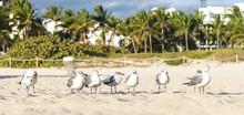 Laughing Gulls, Florida, USA