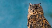 Beautiful Eagle Owl On Blue Ba...