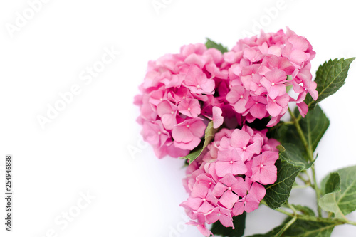 La pose en embrasure Hortensia Bouquet hydrangea isolated on white background. Pink flowers hortensia are blooming in spring and summer.