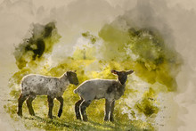 Watercolour Painting Of Beauitful Landscape Image Of Newborn Spring Lambs And Sheep In Fields During Late Evening Light