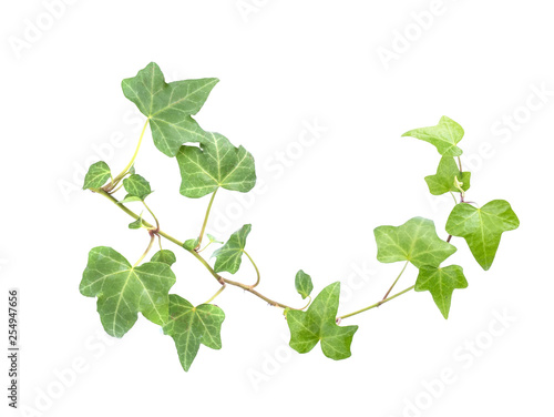 Carta da parati ivy leaves isolated on a white background