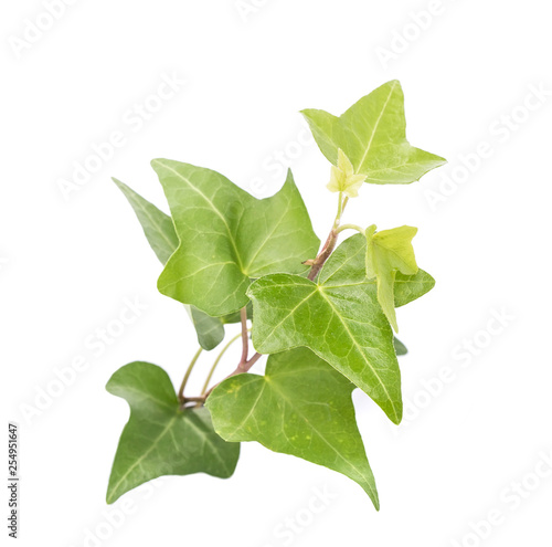 Canvas-taulu ivy leaves isolated on a white background