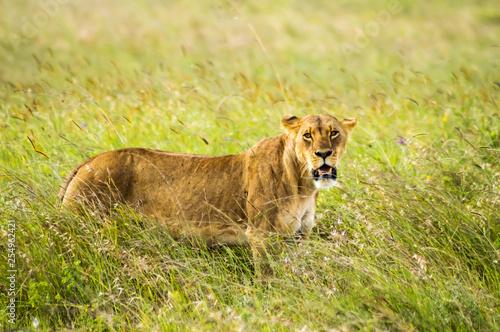 Fotografie, Obraz  Lioness sitting in the savannah of Nairobi