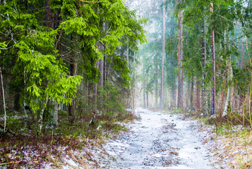 Fototapeta Las Winter country landscape. White mist in the forest. Pine trees and pure morning light. Forest walkway. Germany