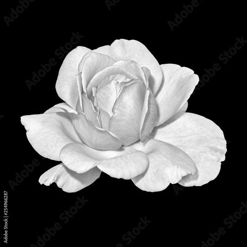 Monochromatyczne dzieła sztuki martwa natura jasny portret makro pojedynczy kwiat biały róża, czarne tło, szczegółowe tekstury, styl vintage malarstwo