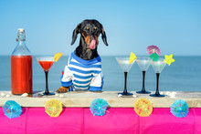 Funny Cool Dachshund Dog Drinking Cocktails, Licked,  At The Bar In A  Beach Club Party With Ocean View