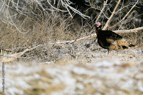 Fotografia, Obraz  Wild Turkeys forage for food amongst the trees at Lake Scott State Park, in West
