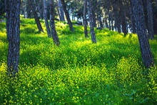 Mustard Plant Flowers Growing At The Givat Ha Moreh Forest