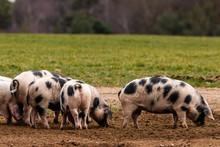 Bentheimer Landschweine Auf Fu...