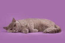 Thick British Shorthair Cat On...