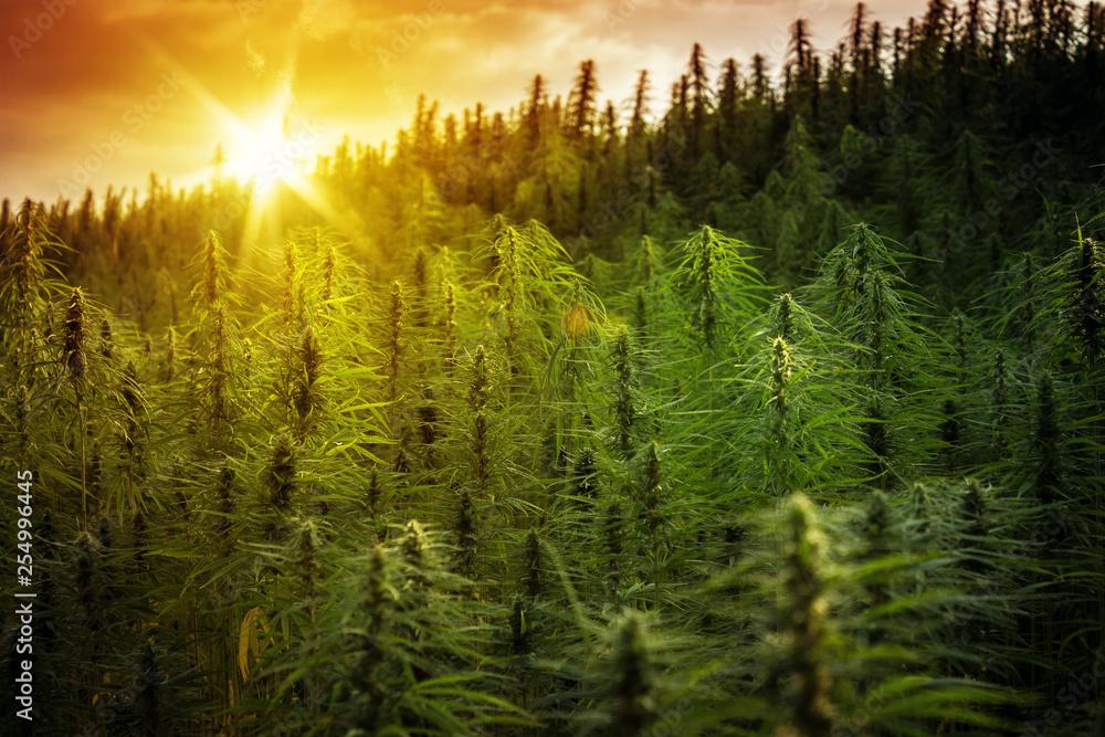 Fototapety, obrazy: Sunset Cannabis Field. Marijuana Plants.