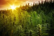 Sunset Cannabis Field. Marijuana Plants.