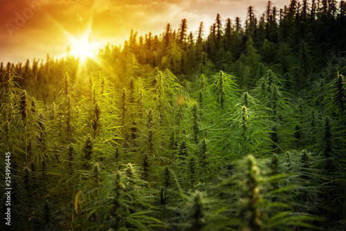 Fototapeta Sunset Cannabis Field. Marijuana Plants. obraz