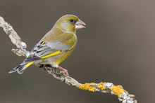 The European Greenfinch (Chloris Chloris) Or Common Greenfinch Is A Songbird Of The Order Of The Passeriformes And The Family Fringillidae.