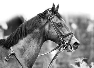 Portret monochromatyczny konia pełnej krwi