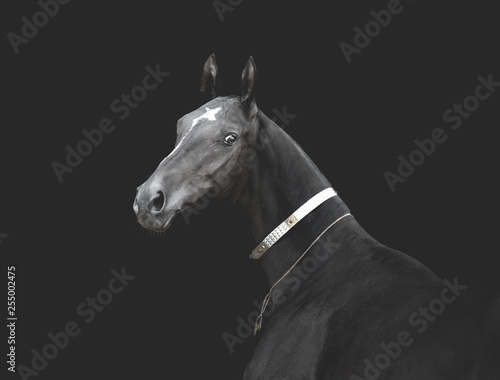 Fotografija  Black akhal-teke horse in traditional finery on dark background monochrome image