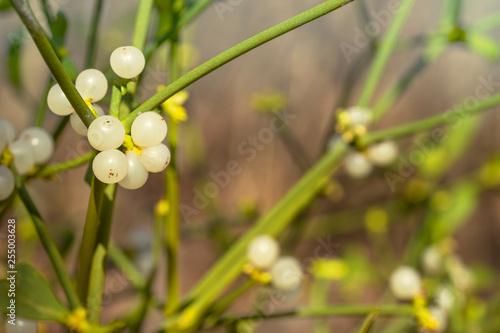 Viscum Album The European Mistletoe Or Common Mistletoe White