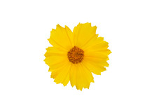 Yellow Coreopsis Flower Isolated On White Background