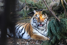 Close Up Of Amur Tiger In Zoo ...