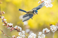 Der Singvogel Blaumeise Und Da...