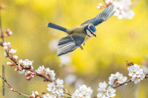 Fotografía  Der Singvogel Blaumeise und das Insekt Wollschweber an einer blühenden Blutpflau
