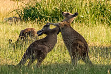 Boxing Kangaroos. Two Kangaroos Fighting In A Grassy Field, With Another Kangaroo In The Background. Taken In Victoria, Australia.