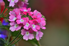 Close Up Of A Pink Verbena Flowers In Bloom