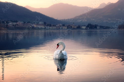 Cadres-photo bureau Cygne The swan