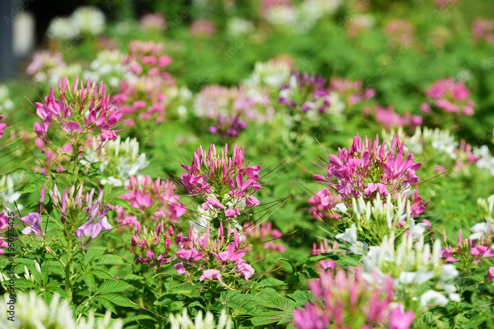 Beautiful flowers in the garden beside the house.Green leaves with beautiful sunlight Used as a background image.Colorful flowers With butterflies and insects in the morning .Colorful flowers in city