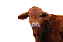 Cute Brown Brahma Crossbred Heifer Cow Calf Looking At Camera With White Background.  Copy Space For Agriculture Cattle Farm Concept.