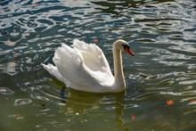 Beautiful Swan Swimming In Crystal Clear Water