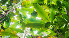 Banana Leaf And Trees Leaf Background In Tropical Forest With Daylight In Clear Sky