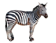 African Zebra On White Backgro...
