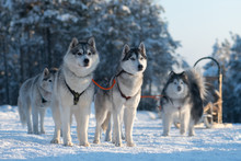 Sled Dog Team Are Waiting For Races, Yakutia. Siberian Husky