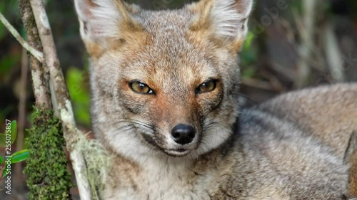 Red fox (Vulpes vulpes) sits in the forest and looks into camera Canvas-taulu