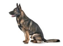 Gray German Shepherd