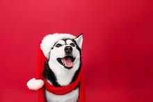 Adorable Husky Dog In Santa Ha...