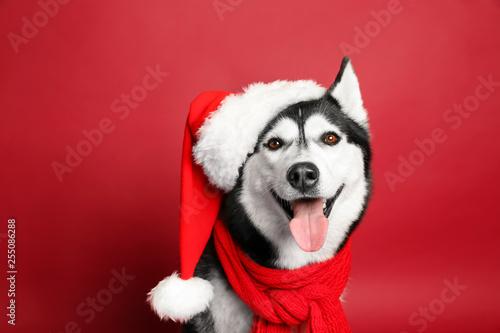 Obraz Adorable husky dog in Santa hat on color background - fototapety do salonu
