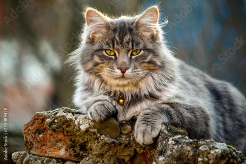 Longhair cat closeup