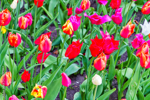 Photo  Beautiful spring tulip flower view from the top.