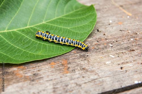 Fotografía  Beautiful black and yellow caterpillar creeps on big green leaf..