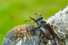 Stag Beetle On A Tree. Big Hor...